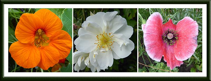 nasturtium, rose and poppy