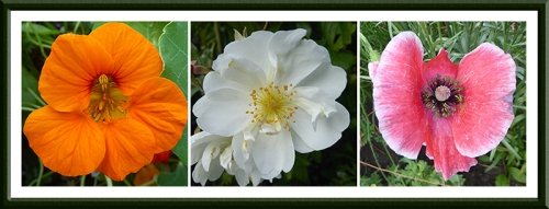 nasturtium, rose and poppy