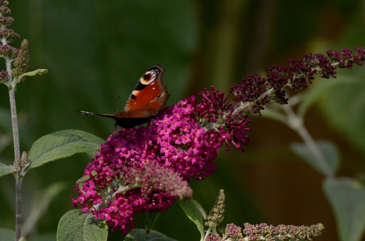 peacock butterfly on red buddleia