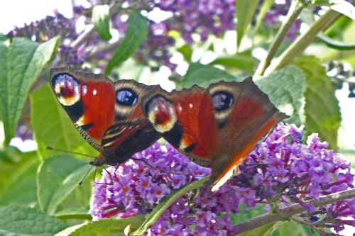 peacock butterfly pair 1