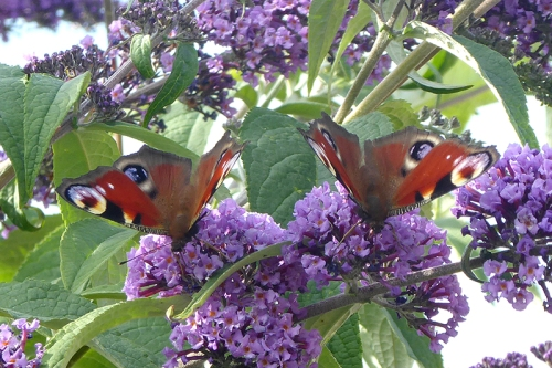 peacock butterfly pair 2