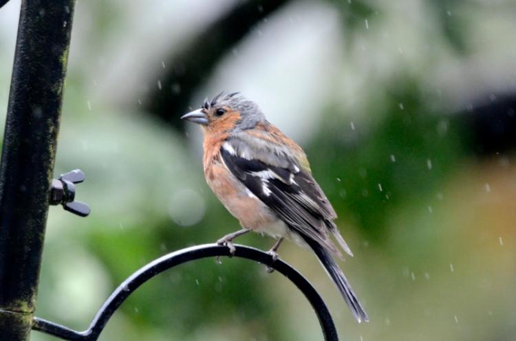 perching chaffinch in rain