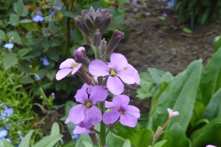 perennial wallflower
