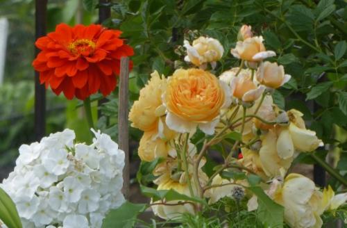 phlox, zinnia, rose