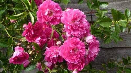 rambler rose