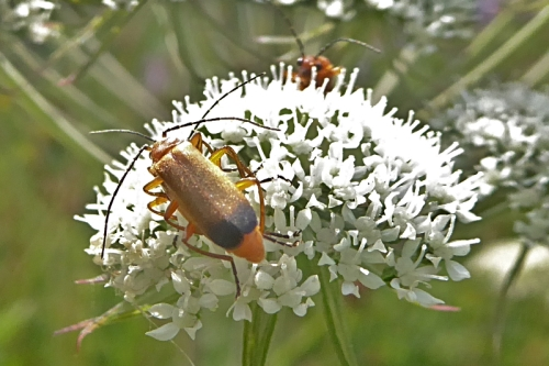 red soldier beetles