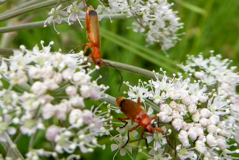 red soldier beetles