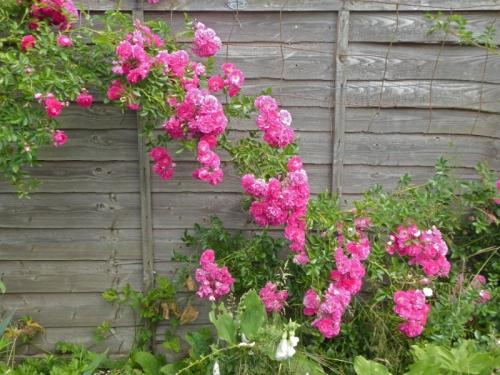 rose excelsa