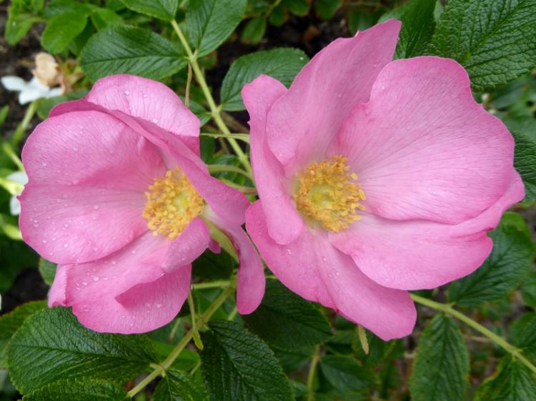 rose Fru Dagmar Hastrup