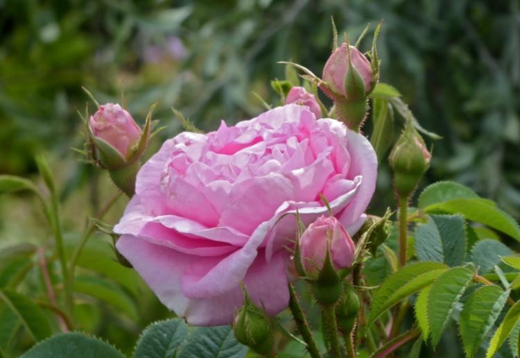 rose Queen of Denmark