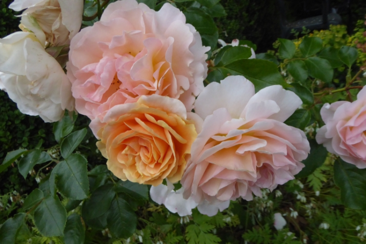 rose Wren