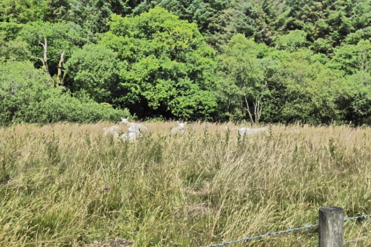 sheep in long grass
