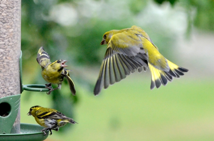 siskin and greenfinch
