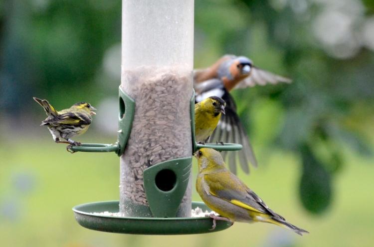 siskin, greenfinch and chaffinch