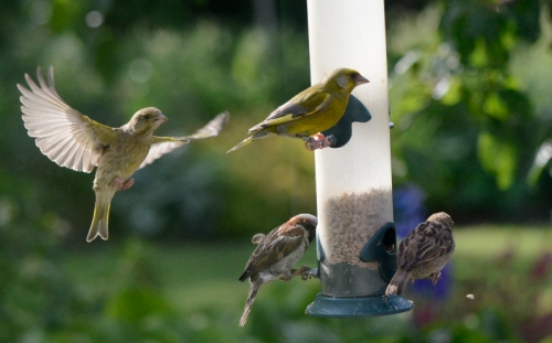 siskin, greenfinch, sparrow