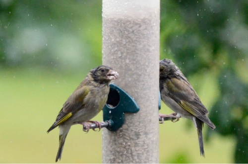 soggy greenfinch on feeder 2