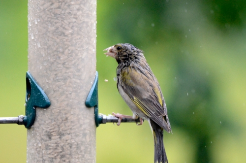 soggy greenfinch on feeder