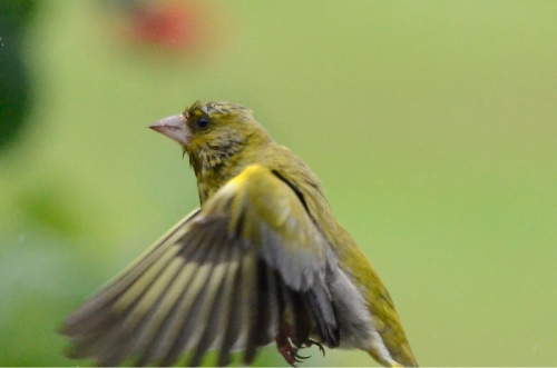 soggy greenfinch
