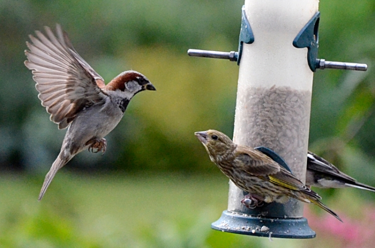 sparrow and greenfinch 2