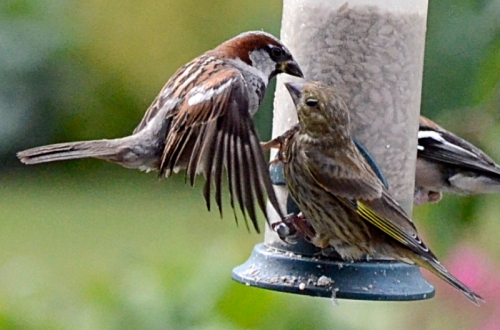 sparrow and greenfinch