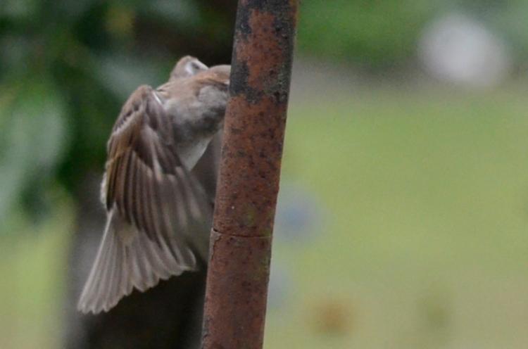 sparrow behind pole