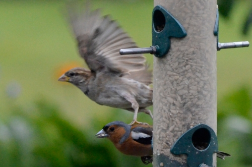 sparrow stamping chaffinch