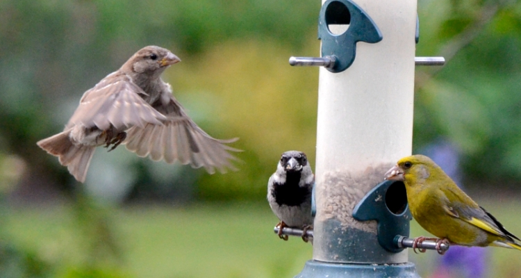 sparrows and greenfinch