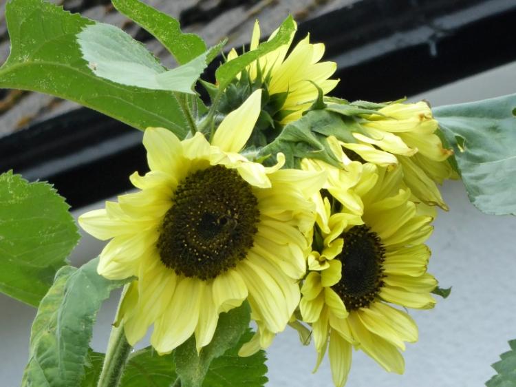 tall sunflowers