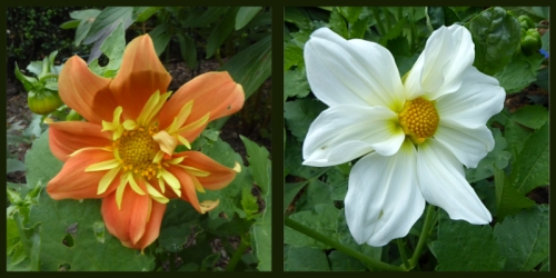 two dahlias