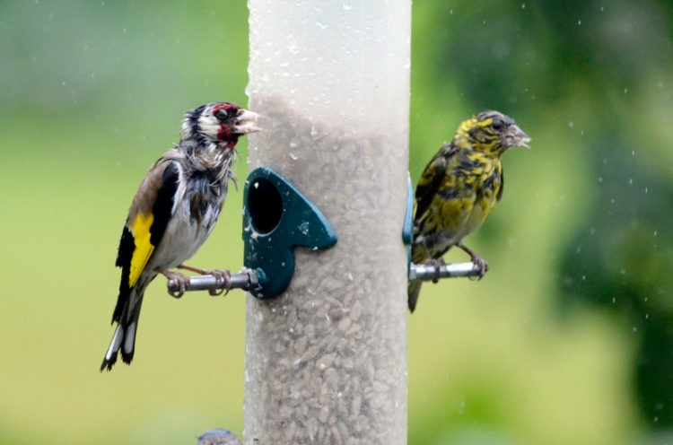 very soggy goldfinch