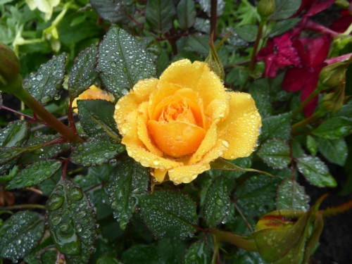 wet wedding rose