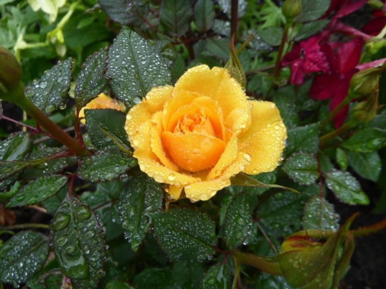 wet wedding rose
