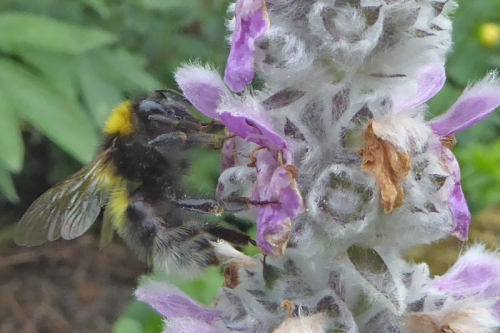 white tailed bee on stachys