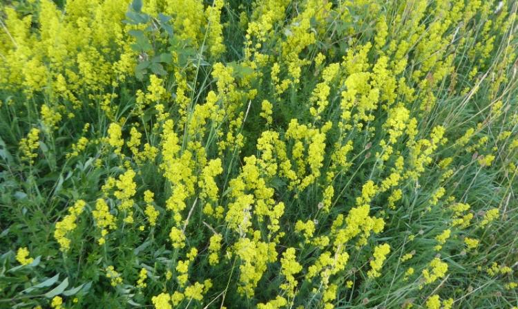 yellow verge flowers