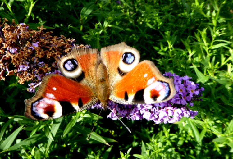 another peacock butterfly