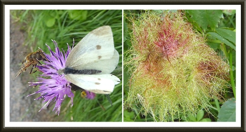 bee, butterfly and rose gall
