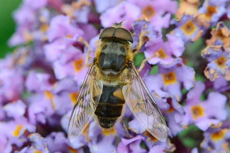 bee on buddleia