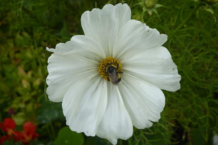 bee on white cosmos