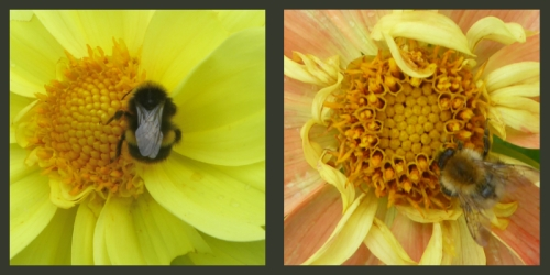 bees on dahlias