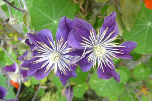 big hearted clematis