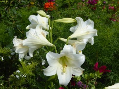 big white lilies