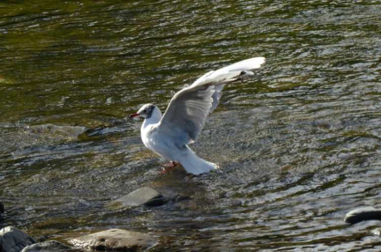 black headed gull flapping
