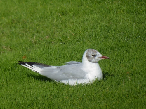 black headed gull on grass