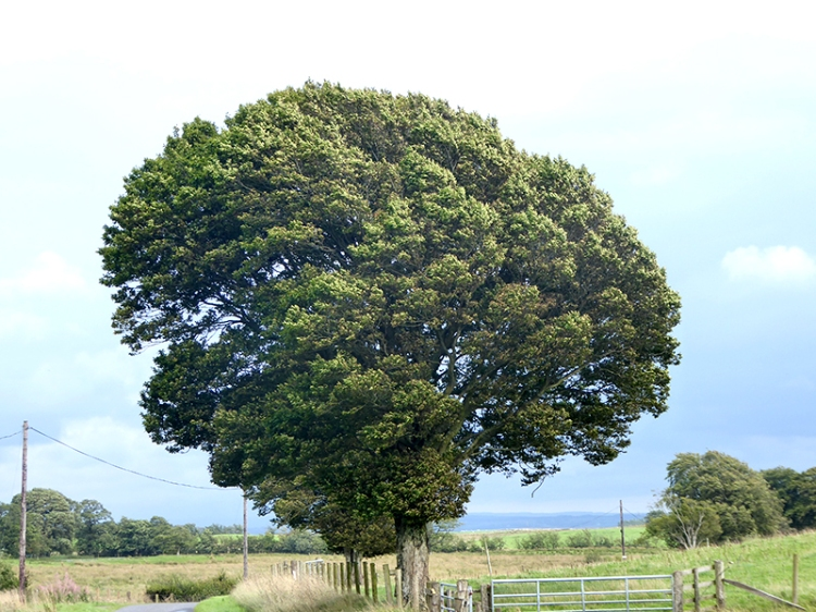 blowy tree