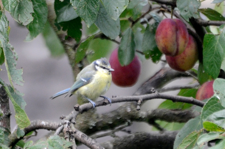 blue tit among the plums