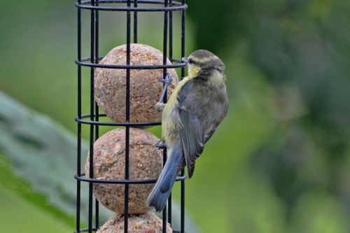blue tit on fatball