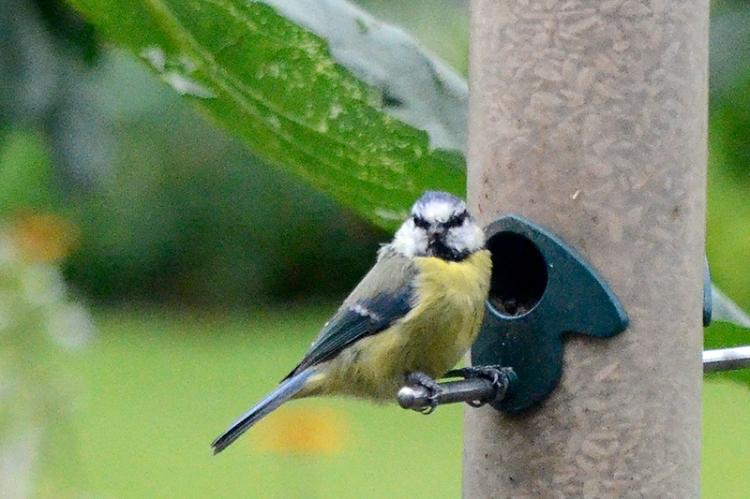 blue tit on feeder