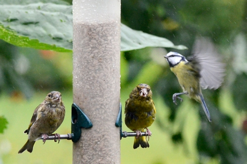 blue tit passing greenfinches