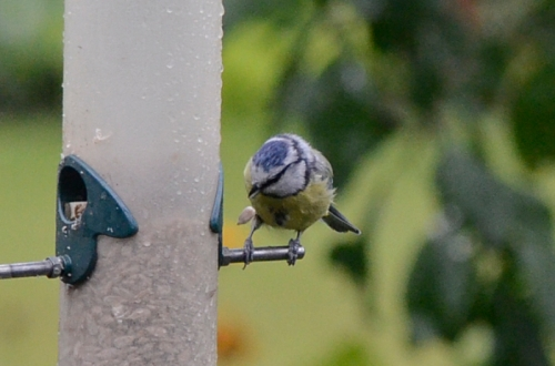 bluetit dropping seed