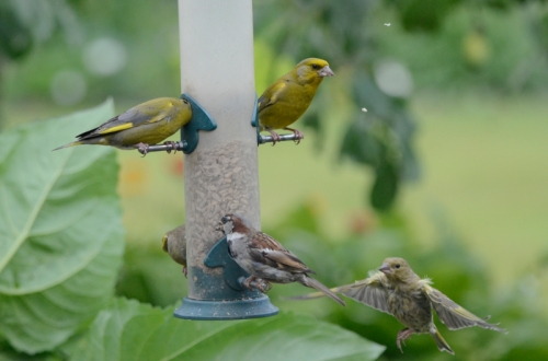 busy feeder greenfinches 2